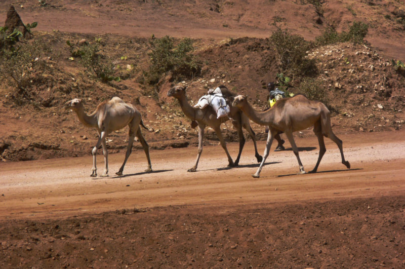 East of Harar is almost a semi-desert with camel herds
