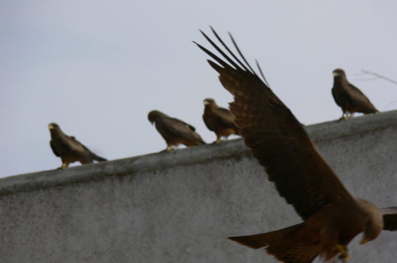 Vultures in action - some already flying down for the meat, others waiting for the next piece to be thrown.