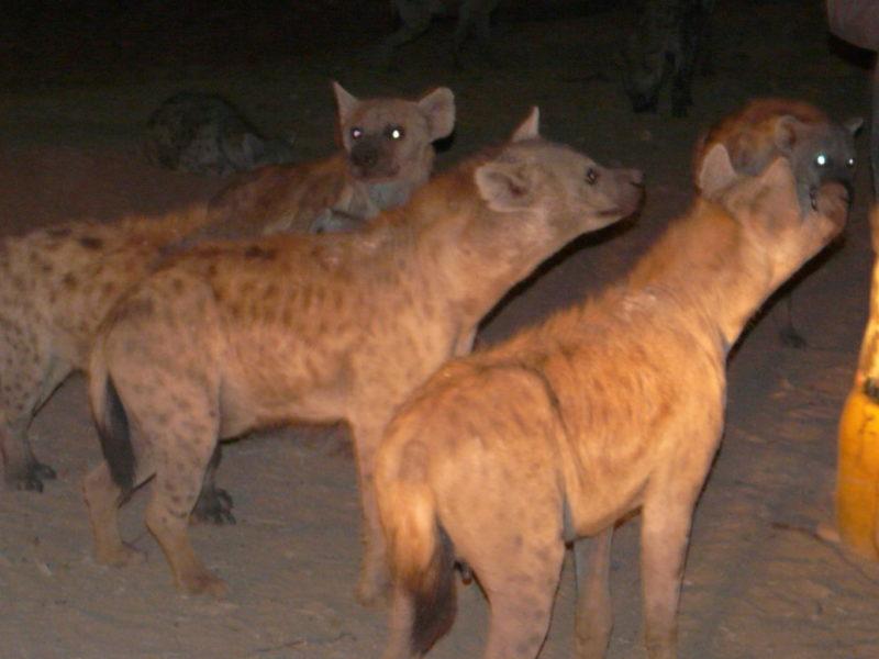 The famous hyenas of Harrar - certainly a unique attraction